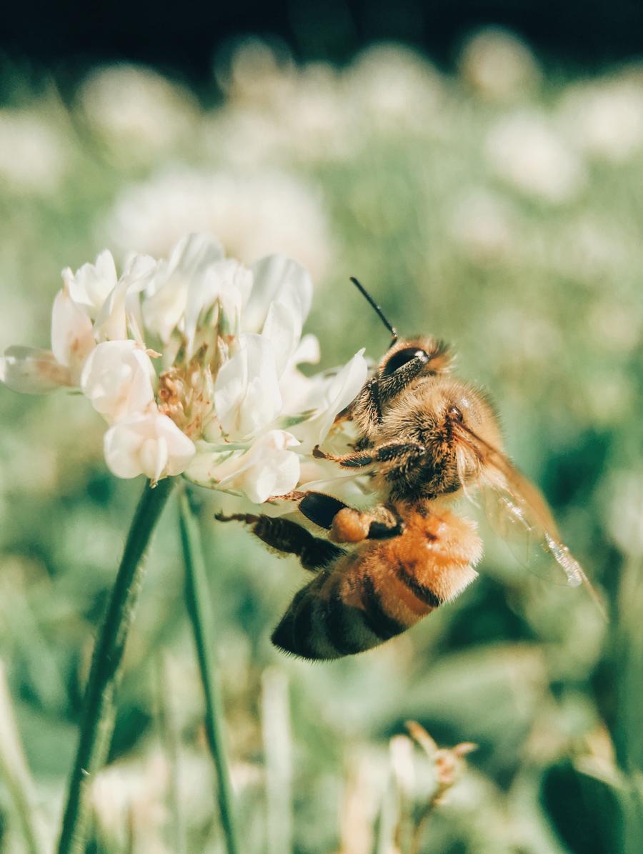 Blog_CNPH_Piverdière_Journée-mondiale-des-abeilles-20mai.2